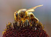 Diet Helps Bees Resist Pesticides
