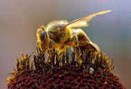 Diet Helps Bees Resist Pesticides