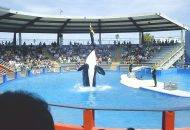 Free Tilly: Killer Whales in Captivity are No Laughing Matter