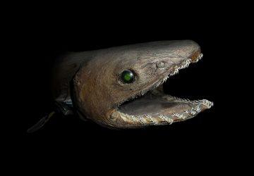 """Prehistoric"" Shark Not as Rare As Reports Claim"