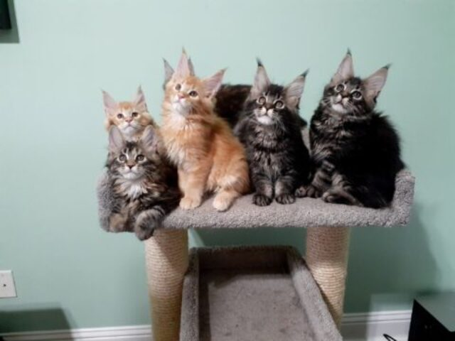Litter of 12 week old Maine Coon Kittens